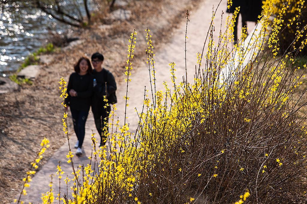 청계천에 핀 개나리 길을 걷는 연인 사진
